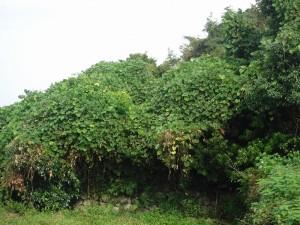 つたに覆われた槙の木