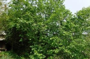 桑の木の大木